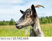 Купить «Серая коза на лугу летним солнечным днем (крупный план, фото в профиль)», фото № 29543664, снято 7 августа 2018 г. (c) Екатерина Овсянникова / Фотобанк Лори