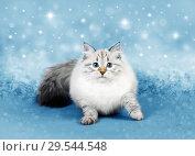 Купить «Christmas cat, Сибирская Невская Маскарадная кошечка», фото № 29544548, снято 17 ноября 2018 г. (c) ElenArt / Фотобанк Лори
