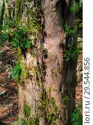Купить «Young plants grow on old dry stump», фото № 29544856, снято 26 сентября 2017 г. (c) Евгений Харитонов / Фотобанк Лори