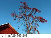 Купить «Рябина спелая зимой», эксклюзивное фото № 29545208, снято 25 ноября 2018 г. (c) Анатолий Матвейчук / Фотобанк Лори