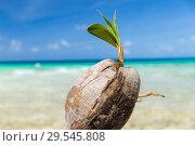 coconut on tropical beach in french polynesia. Стоковое фото, фотограф Syda Productions / Фотобанк Лори
