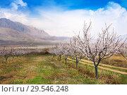 Купить «Apricot farm during sping season against Vayk mountain range, Vayots Dzor Province», фото № 29546248, снято 16 марта 2018 г. (c) Papoyan Irina / Фотобанк Лори