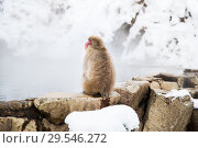 Купить «japanese macaque or snow monkey in hot spring», фото № 29546272, снято 8 февраля 2018 г. (c) Syda Productions / Фотобанк Лори