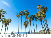 Купить «palm trees at venice beach, california», фото № 29546416, снято 26 февраля 2018 г. (c) Syda Productions / Фотобанк Лори