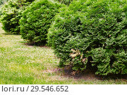 Купить «Row of round thuja bushes growing in the park close-up», фото № 29546652, снято 12 июня 2018 г. (c) Георгий Дзюра / Фотобанк Лори