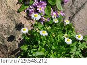 Купить «Цветущие маргаритки (лат. Bellis perennis) в весеннем саду», фото № 29548212, снято 14 мая 2018 г. (c) Елена Коромыслова / Фотобанк Лори