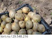 Купить «Проросший семенной картофель», фото № 29548216, снято 23 мая 2018 г. (c) Елена Коромыслова / Фотобанк Лори