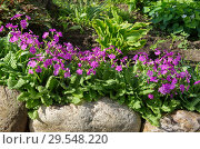 Купить «Примула кортузовидная (лат. Рrimula cortusoides L.) цветет в саду», фото № 29548220, снято 23 мая 2018 г. (c) Елена Коромыслова / Фотобанк Лори