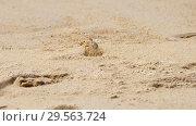 Купить «Crab on the sandy beach», видеоролик № 29563724, снято 8 декабря 2018 г. (c) Игорь Жоров / Фотобанк Лори