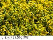 Купить «Очиток едкий (Sedum acre), фон», фото № 29563908, снято 6 июля 2017 г. (c) Татьяна Белова / Фотобанк Лори