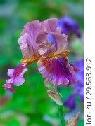 Купить «Ирис цветок (Iris barbatus)», фото № 29563912, снято 1 июня 2017 г. (c) Татьяна Белова / Фотобанк Лори