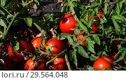 Купить «Ripe red tomatoes are grown in the ground», видеоролик № 29564048, снято 25 августа 2018 г. (c) Володина Ольга / Фотобанк Лори
