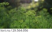 Купить «Young emerging umbrellas with dill seeds», видеоролик № 29564056, снято 20 июня 2018 г. (c) Володина Ольга / Фотобанк Лори