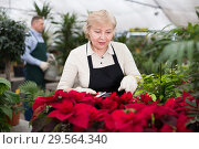 Купить «Portrait of female gardener with secateur who is taking care of flowers», фото № 29564340, снято 23 февраля 2018 г. (c) Яков Филимонов / Фотобанк Лори