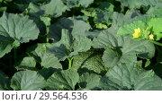 Купить «Fragment of melon field with foliage and green fruits», видеоролик № 29564536, снято 18 июля 2018 г. (c) Володина Ольга / Фотобанк Лори
