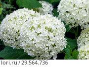 Купить «Белая гортензия (Hydrangea)», фото № 29564736, снято 27 июля 2011 г. (c) Татьяна Белова / Фотобанк Лори
