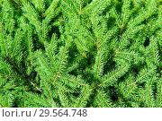 Купить «Еловые ветви (фон)», фото № 29564748, снято 5 августа 2018 г. (c) Екатерина Овсянникова / Фотобанк Лори
