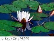 Купить «Белая водяная лилия или нимфея в пруду», фото № 29574140, снято 2 апреля 2012 г. (c) Татьяна Белова / Фотобанк Лори