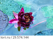 Купить «Бордовый цветок водяной лилии в пруду», фото № 29574144, снято 11 июля 2018 г. (c) Татьяна Белова / Фотобанк Лори