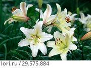 Купить «Цветы белой лилии в летнем саду», фото № 29575884, снято 27 июля 2011 г. (c) Татьяна Белова / Фотобанк Лори