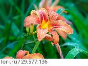 Купить «Цветок оранжевой лилии в каплях дождя», фото № 29577136, снято 27 июля 2011 г. (c) Татьяна Белова / Фотобанк Лори