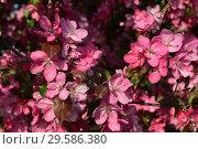 Купить «Декоративная яблоня в цвету», эксклюзивное фото № 29586380, снято 21 мая 2015 г. (c) lana1501 / Фотобанк Лори