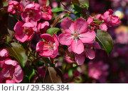 Купить «Цветущая яблоня с розово-малиновыми цветками», эксклюзивное фото № 29586384, снято 21 мая 2015 г. (c) lana1501 / Фотобанк Лори