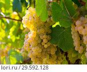 Купить «Ripe white grapes in vineyard», фото № 29592128, снято 21 марта 2019 г. (c) Яков Филимонов / Фотобанк Лори