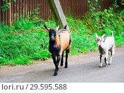 Купить «Two goats roam the street in the village in the summer», фото № 29595588, снято 12 августа 2018 г. (c) Алексей Маринченко / Фотобанк Лори