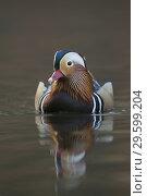 Купить «Mandarin Duck / Mandarinente (Aix galericulata), colourful drake, breeding dress, swims close by, frontal view..», фото № 29599204, снято 23 ноября 2014 г. (c) age Fotostock / Фотобанк Лори