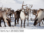 Group of caribou. Стоковое фото, фотограф Сергей Краснощеков / Фотобанк Лори