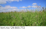 Купить «Beautiful meadow grass against sky by day in Russia. Fragment», видеоролик № 29603772, снято 25 июня 2018 г. (c) Володина Ольга / Фотобанк Лори