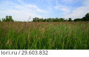 Купить «Field grass swaying in wind. Nature of Russia», видеоролик № 29603832, снято 23 июня 2018 г. (c) Володина Ольга / Фотобанк Лори