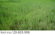 Купить «weed field with young cereal sprouts», видеоролик № 29603908, снято 25 июня 2018 г. (c) Володина Ольга / Фотобанк Лори