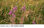 Купить «Mature oats and blooming Sally in sunset light. Nature of Russia», видеоролик № 29606824, снято 27 июня 2018 г. (c) Володина Ольга / Фотобанк Лори