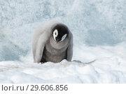 Купить «Emperor Penguin chick on ice», фото № 29606856, снято 26 октября 2018 г. (c) Vladimir / Фотобанк Лори