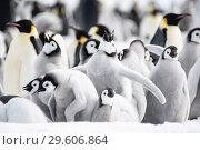 Купить «Emperor Penguin colony with chicks», фото № 29606864, снято 5 ноября 2018 г. (c) Vladimir / Фотобанк Лори