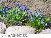 Купить «Мускари широколистный (лат. Мuscari latifolium Kirk) и Сцилла двулистная Таурика (лат. Scilla difolia L.) на весенней клумбе в саду», фото № 29607332, снято 1 мая 2018 г. (c) Елена Коромыслова / Фотобанк Лори