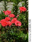 Купить «Роза плетистая Антик 89 (KORdalen, Antike, Antique), (лат. Rosa Antique 89)», эксклюзивное фото № 29608708, снято 25 июля 2015 г. (c) lana1501 / Фотобанк Лори