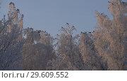 Купить «Trees covered with frost low angle shot», видеоролик № 29609552, снято 22 декабря 2018 г. (c) Гурьянов Андрей / Фотобанк Лори
