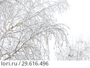 Natural winter snow background. Birch tree branches in the snow in cloudy weather. Стоковое фото, фотограф Светлана Евграфова / Фотобанк Лори