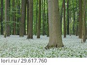 Купить «Ramsons (Allium ursinum) in beech (fagus sylvatica) forest, spring with lush green foliage. Hainich National Park, Thuringia, Germany.», фото № 29617760, снято 11 мая 2011 г. (c) age Fotostock / Фотобанк Лори