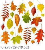 Купить «Big collection of beautiful dry autumn leaves isolated on white background», фото № 29619532, снято 28 мая 2020 г. (c) Сергей Чайко / Фотобанк Лори