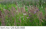 Купить «Fragment of beautiful meadow with wild herbs and flowers, Russia», видеоролик № 29620068, снято 16 июля 2017 г. (c) Володина Ольга / Фотобанк Лори