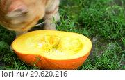 Купить «Red cat eating pumpkin on a nature», видеоролик № 29620216, снято 27 июля 2018 г. (c) Володина Ольга / Фотобанк Лори