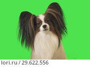 Купить «Beautiful dog Papillon male on green background», фото № 29622556, снято 25 августа 2019 г. (c) Юлия Машкова / Фотобанк Лори