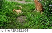 Купить «Red cat and kitten playing in nature in summer», видеоролик № 29622664, снято 23 июля 2018 г. (c) Володина Ольга / Фотобанк Лори