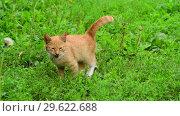 Купить «Lost homeless kitten meows in a nature», видеоролик № 29622688, снято 23 июля 2018 г. (c) Володина Ольга / Фотобанк Лори