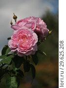 Купить «Роза флорибунда Наташа Ричардсон (Harpacte), (лат. Rosa Natasha Richardson). Harkness Roses (розы Харкнесса), Britain 2011», эксклюзивное фото № 29625208, снято 8 сентября 2014 г. (c) lana1501 / Фотобанк Лори
