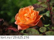 Купить «Роза кустарниковая Леди Эмма Гамильтон (Lady Emma Hamilton), David Austin», эксклюзивное фото № 29625216, снято 8 сентября 2014 г. (c) lana1501 / Фотобанк Лори